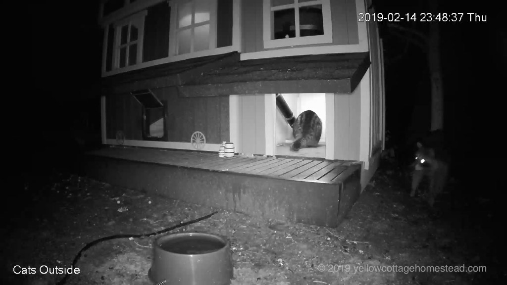Cat eating, raccoon outside
