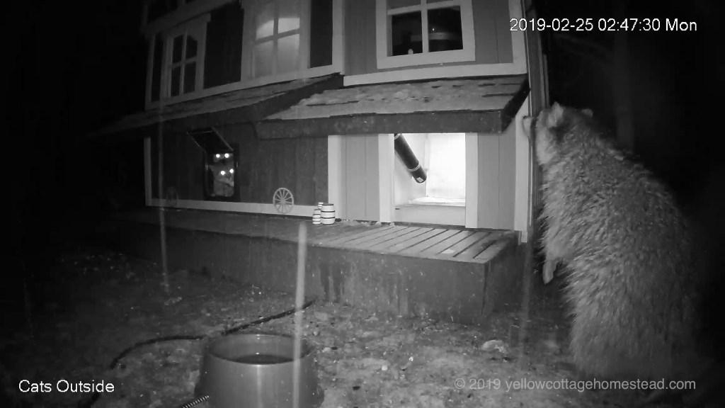 Cats watching raccoon