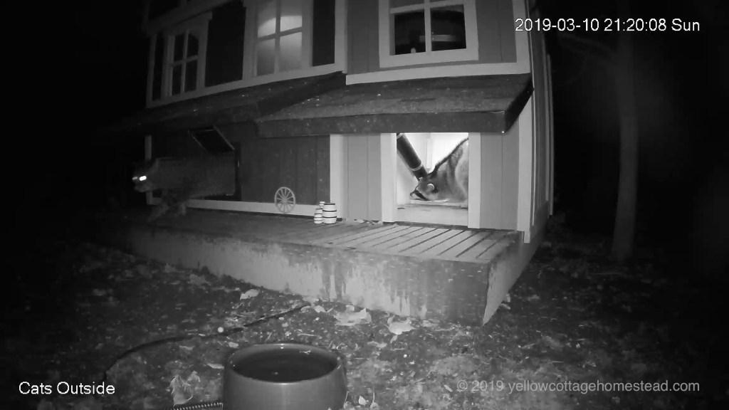 Cat & raccoon