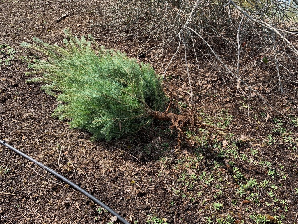 Dug up fir tree