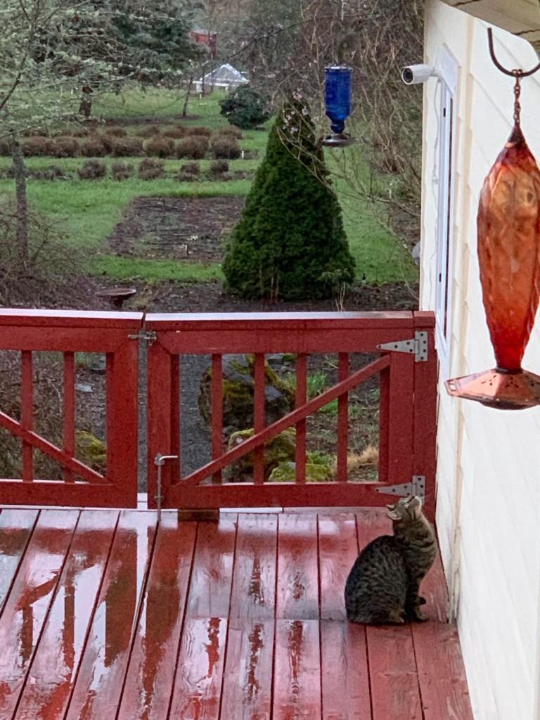 Cat watching hummingbirds