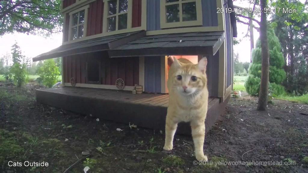 Orange cat startled