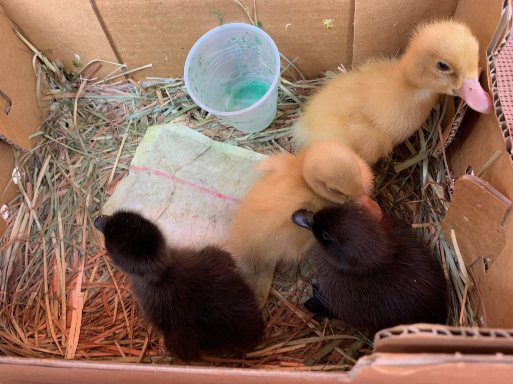 Ducklings in box