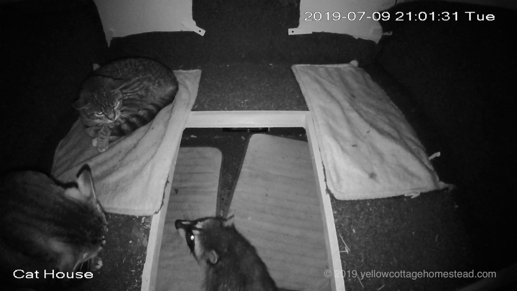 Raccoon in shelter with cats