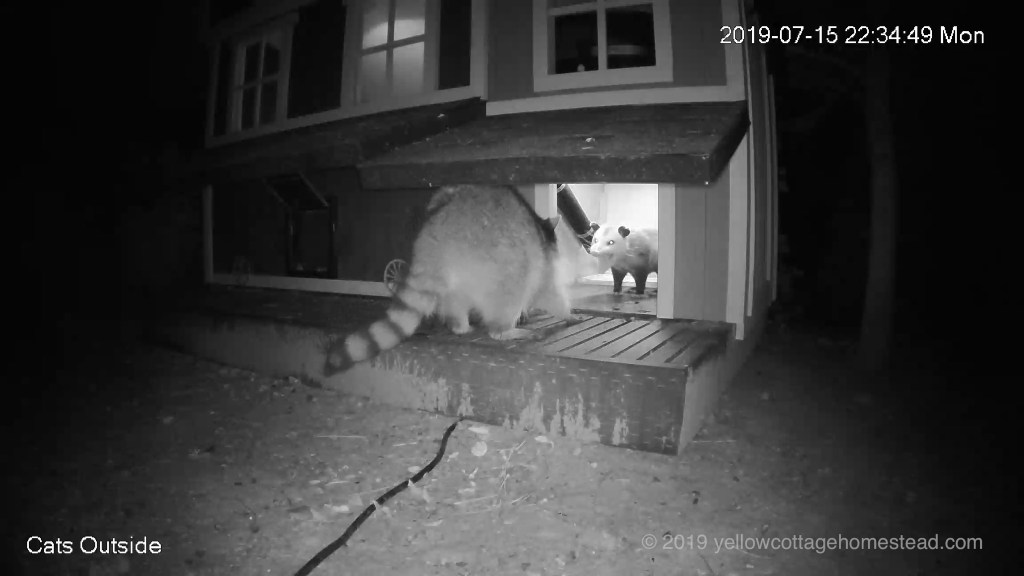 Raccoon vs possum