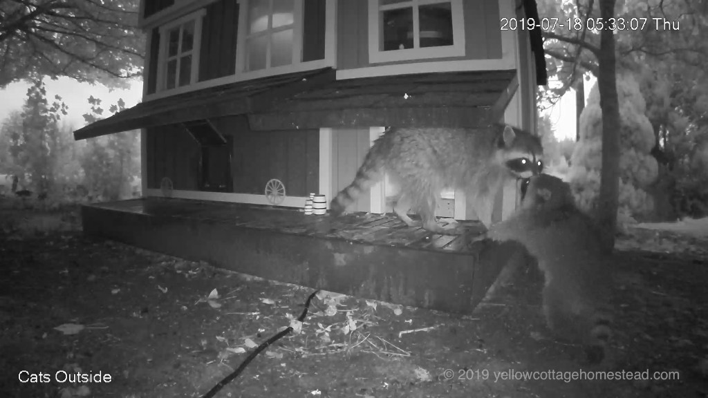 Big and little raccoons