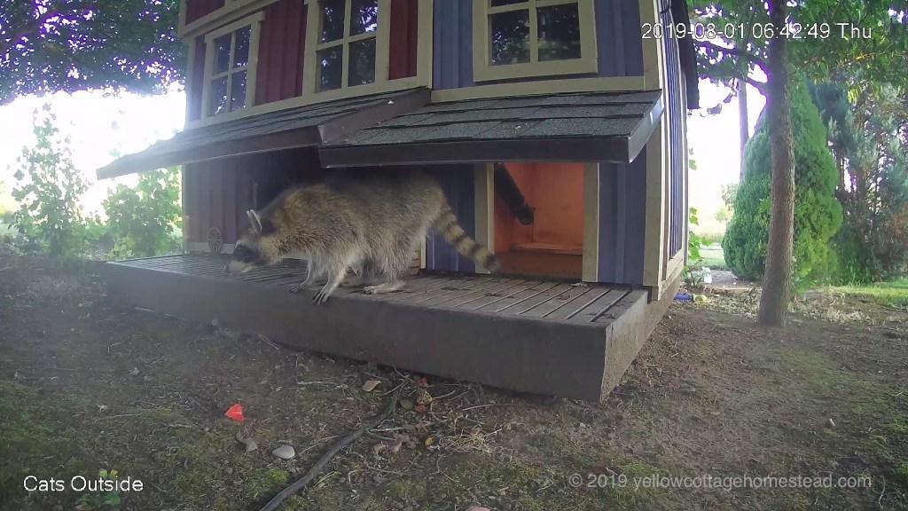 Daytime raccoon