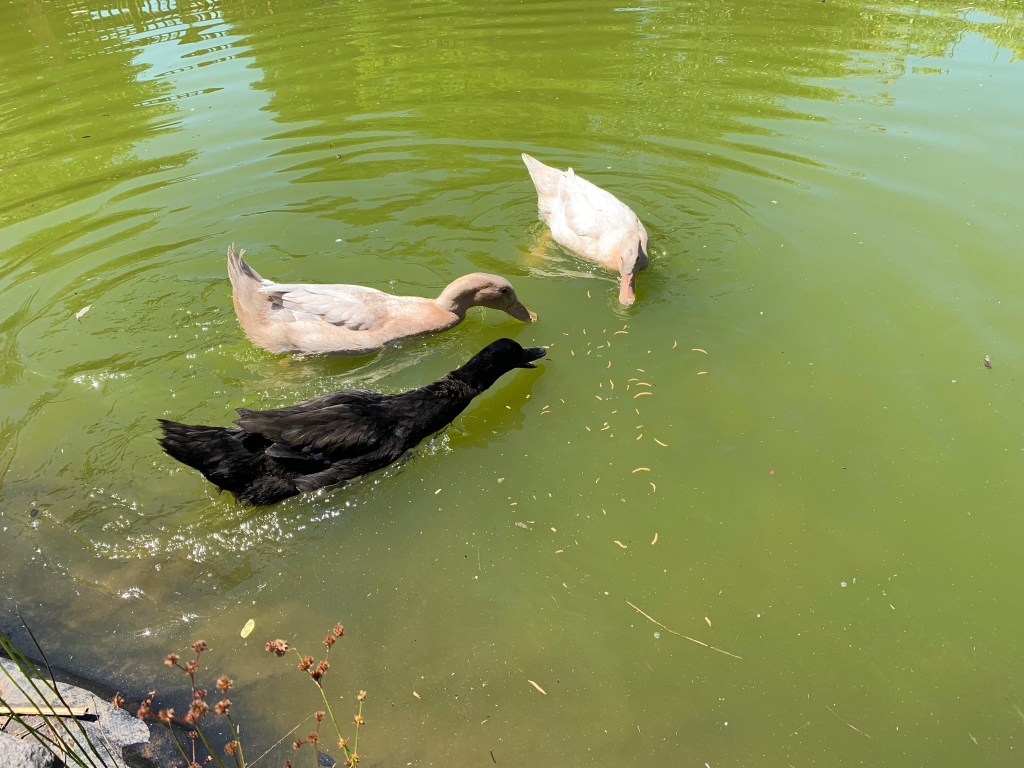 Ducks going for treats