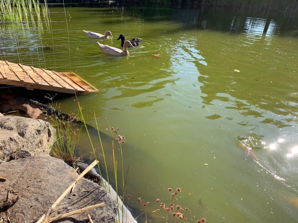 Ducks & fish