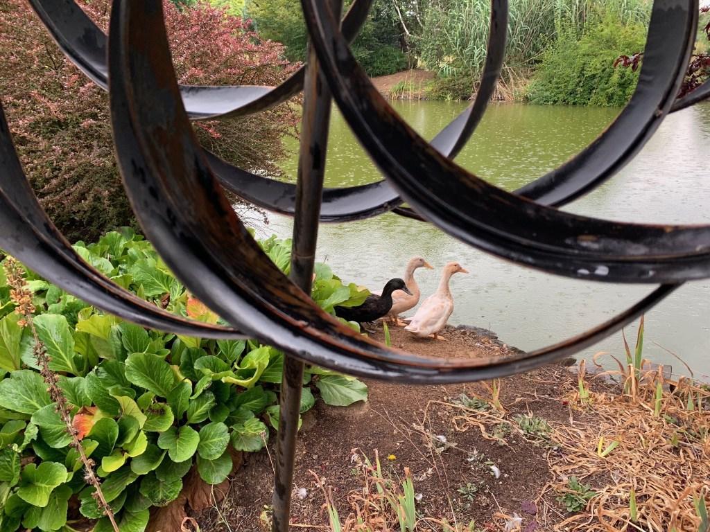 Ducks in rain through whirligig