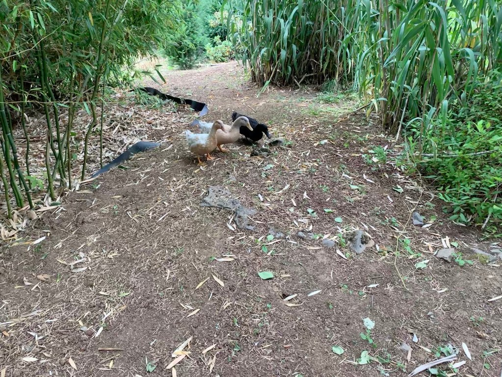 Ducks exploring secret path