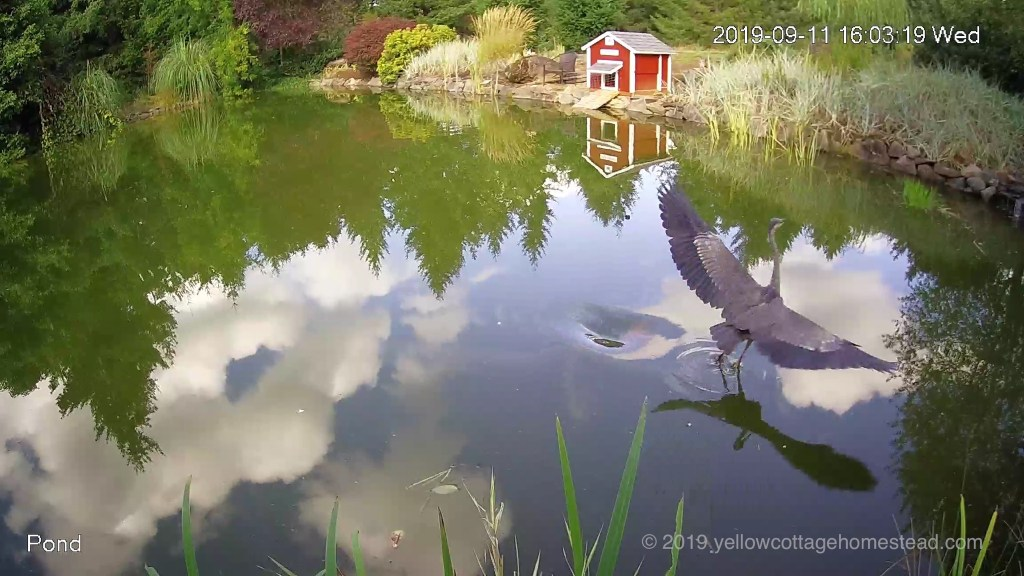 Heron startled by a koi again