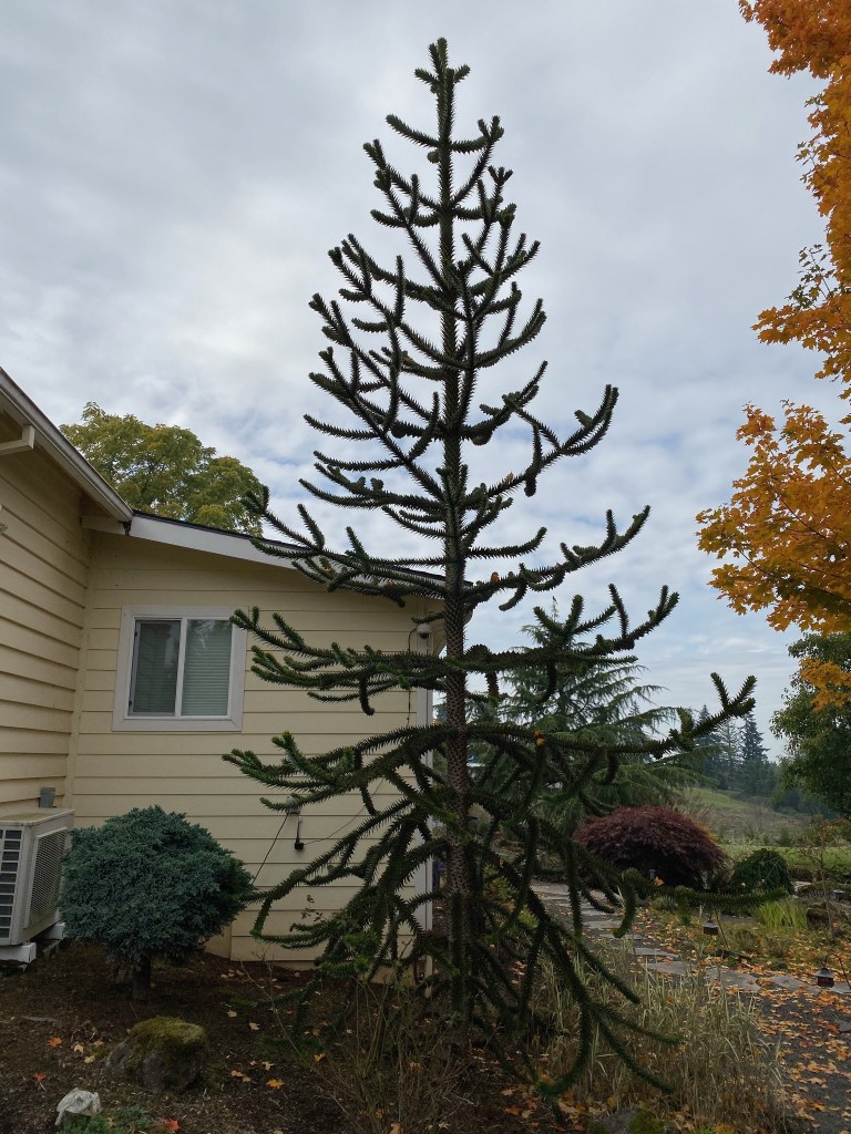 Monkey puzzle (by closet)