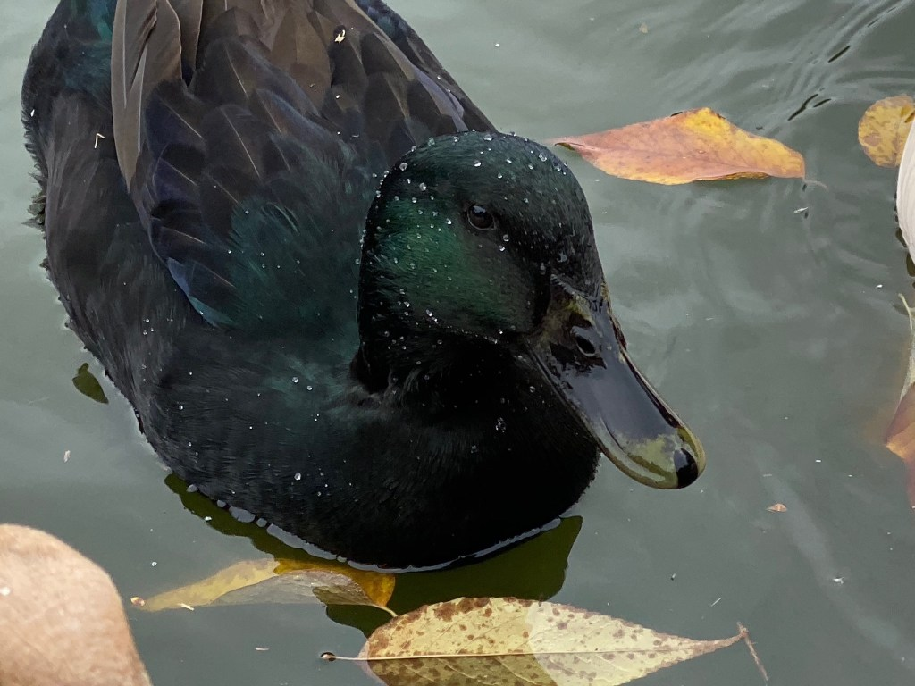 Female cayuga duck