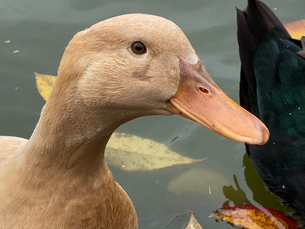 Female buff duck