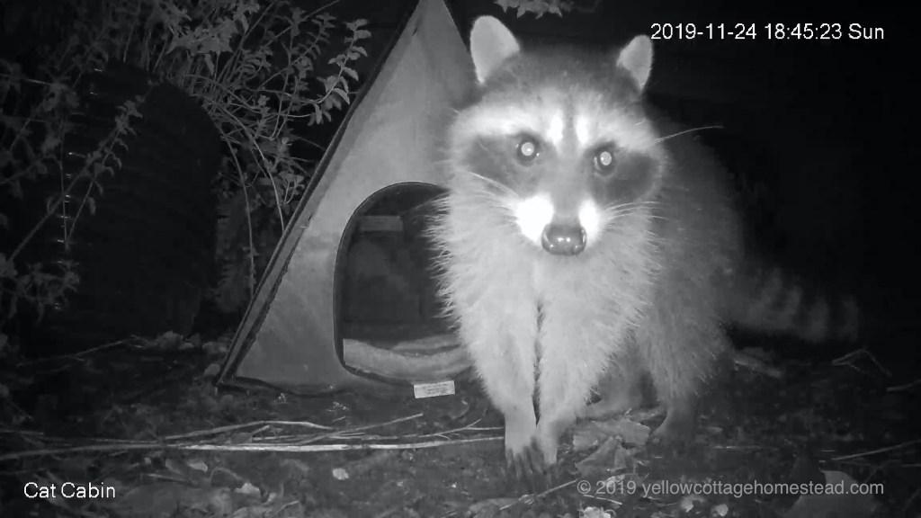 Raccoon encounter