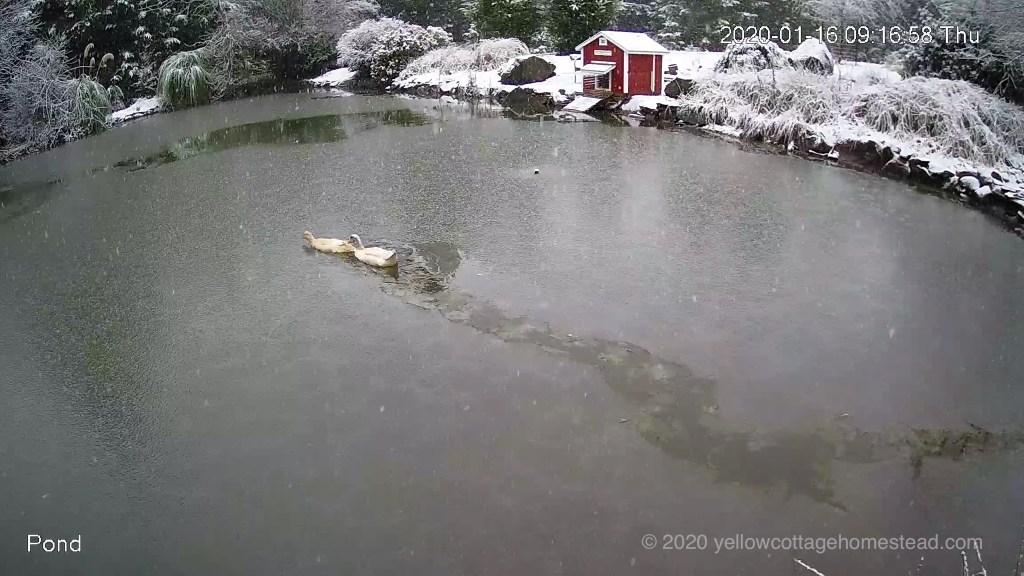 Ducks in frozen pond