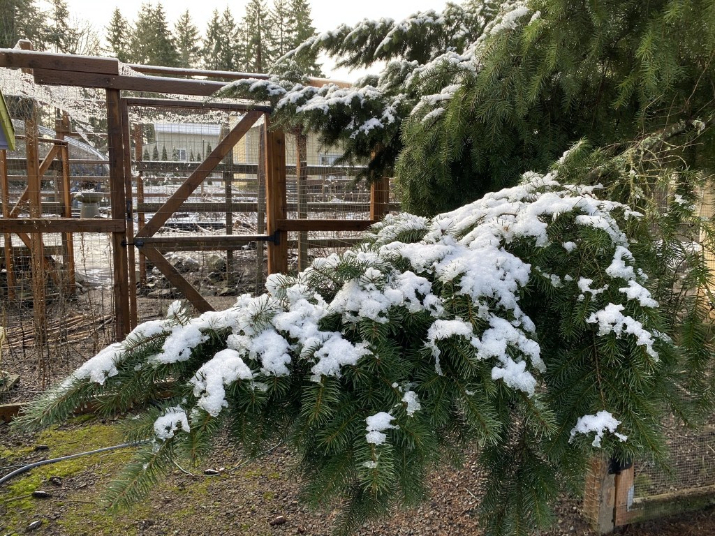 Tree by chicken runs laden with snow