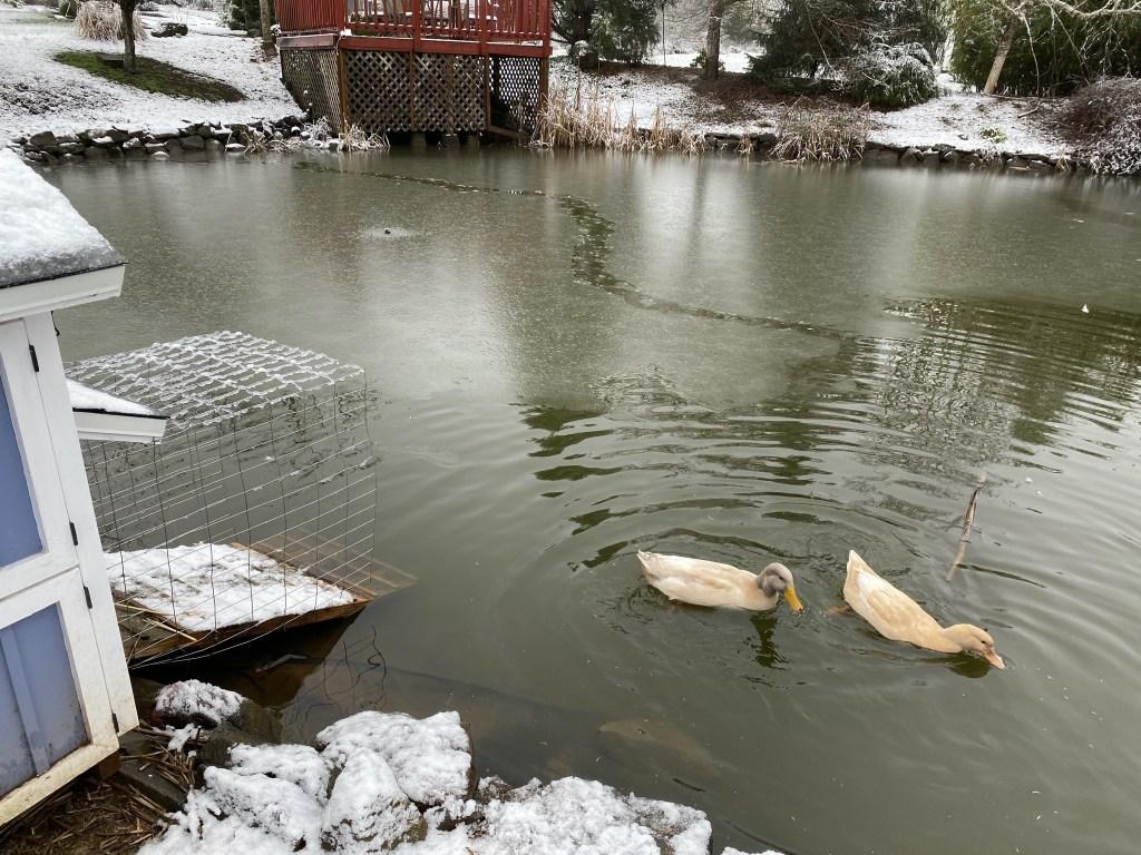 Ducks in partially frozen pond