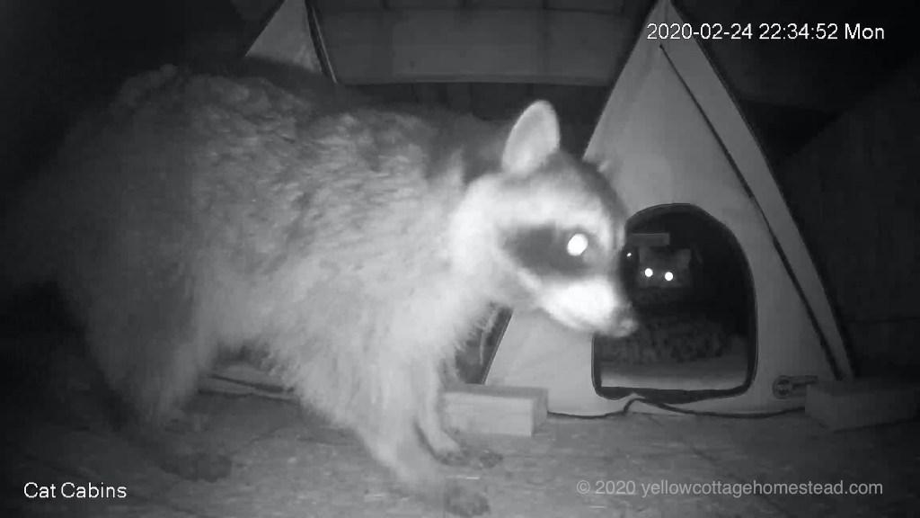 Raccoon and Porcini