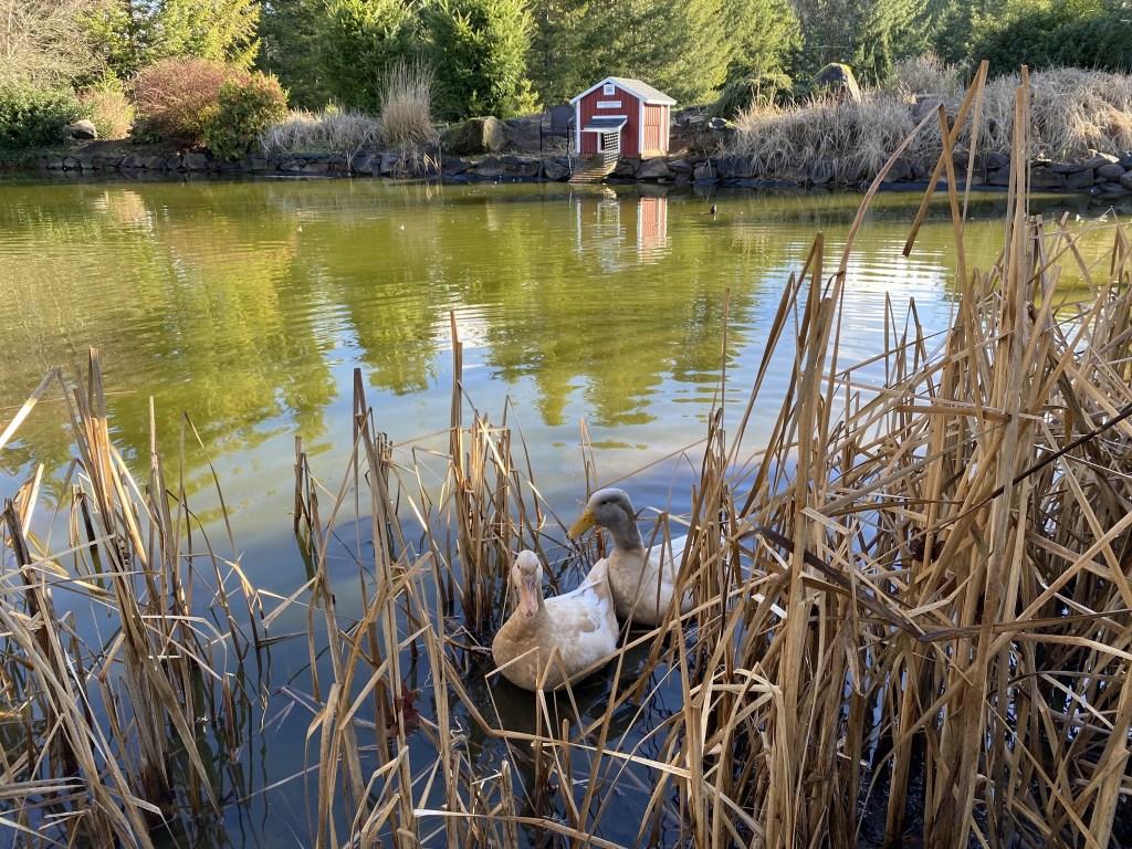 Ducks amongst pond grasses