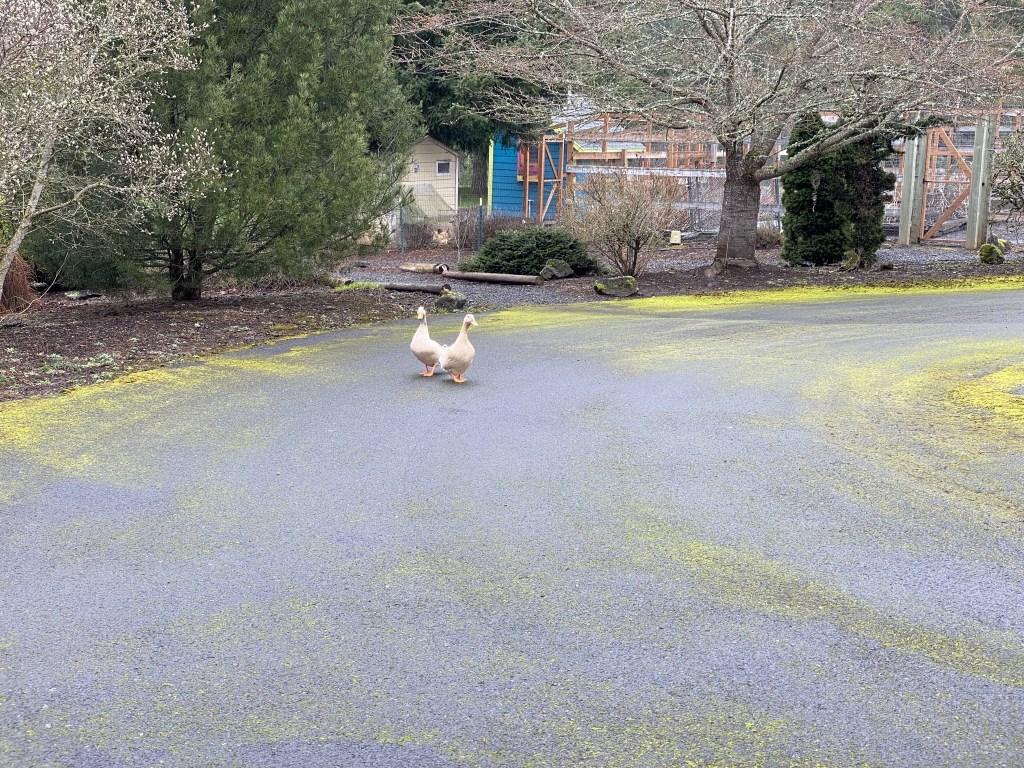 Ducks on driveway