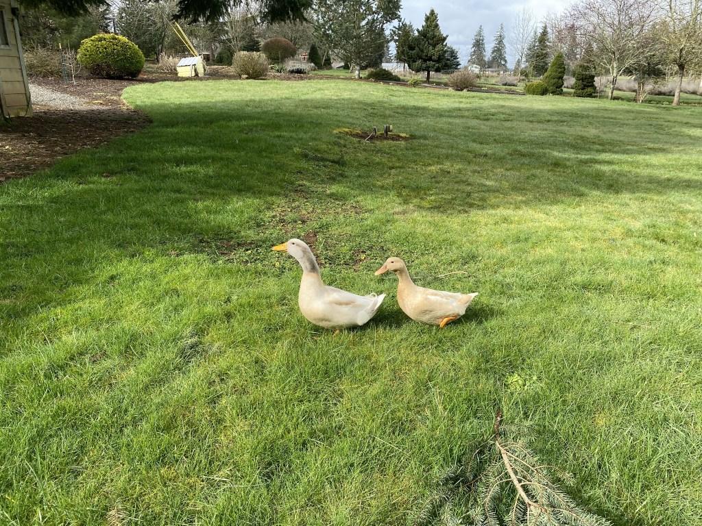 Ducks on back lawn again
