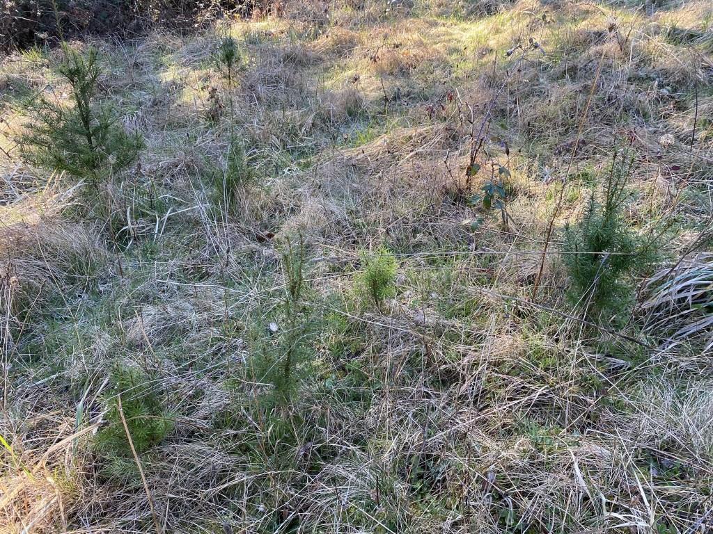 Fir tree seedlings