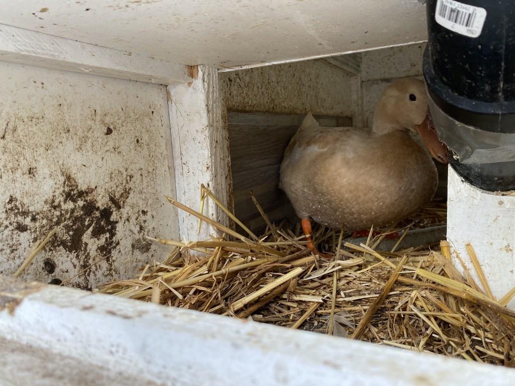 Duck in duck house