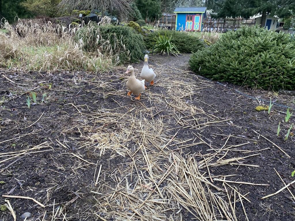 Ducks following me down path