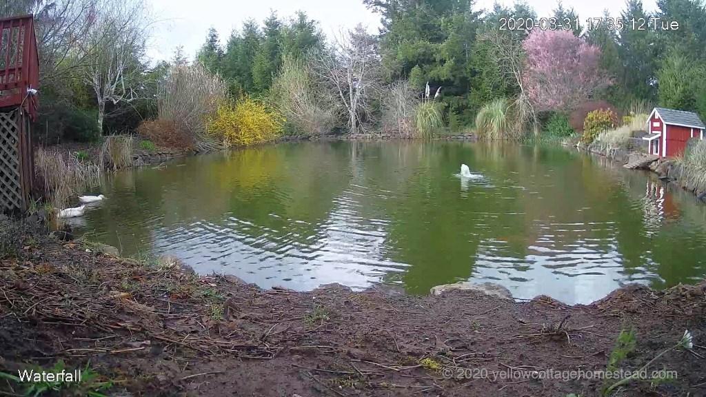 Ducks below pond deck
