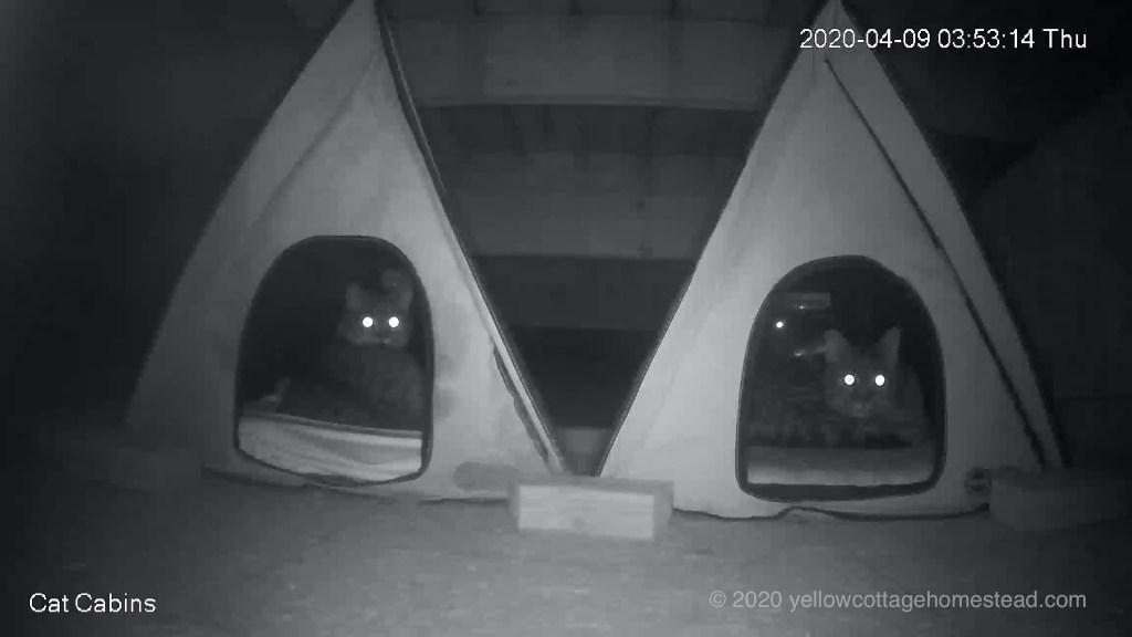 Two cats sensing approaching coyote
