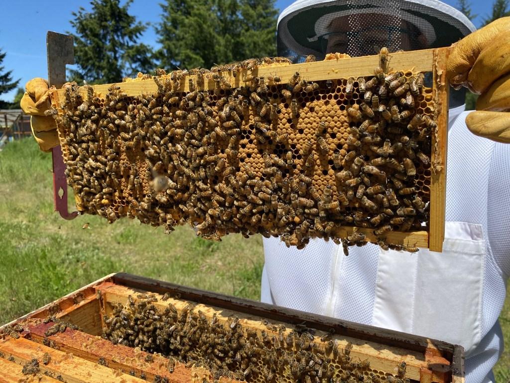Purple hive brood frame