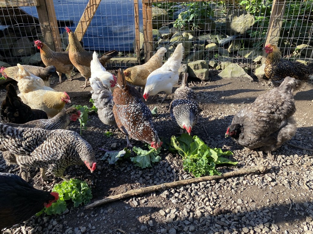 Chickens enjoying treats