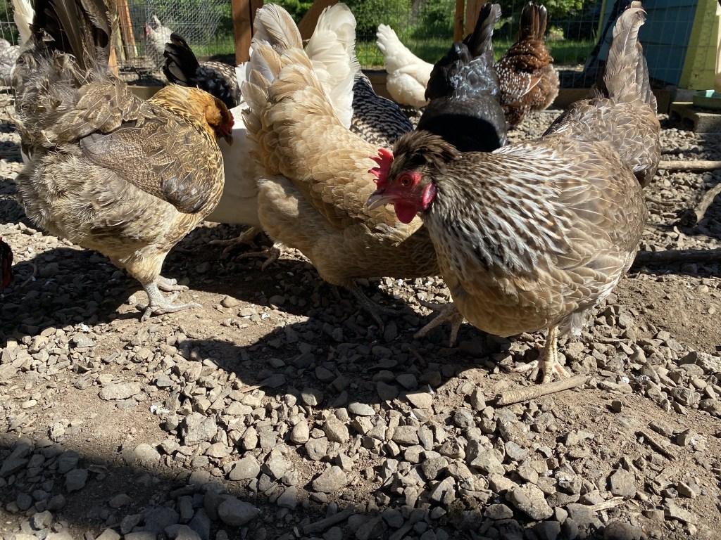 Chicken treats