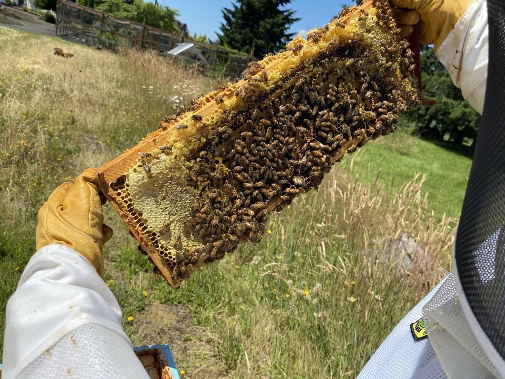 Cedar honey and brood frame