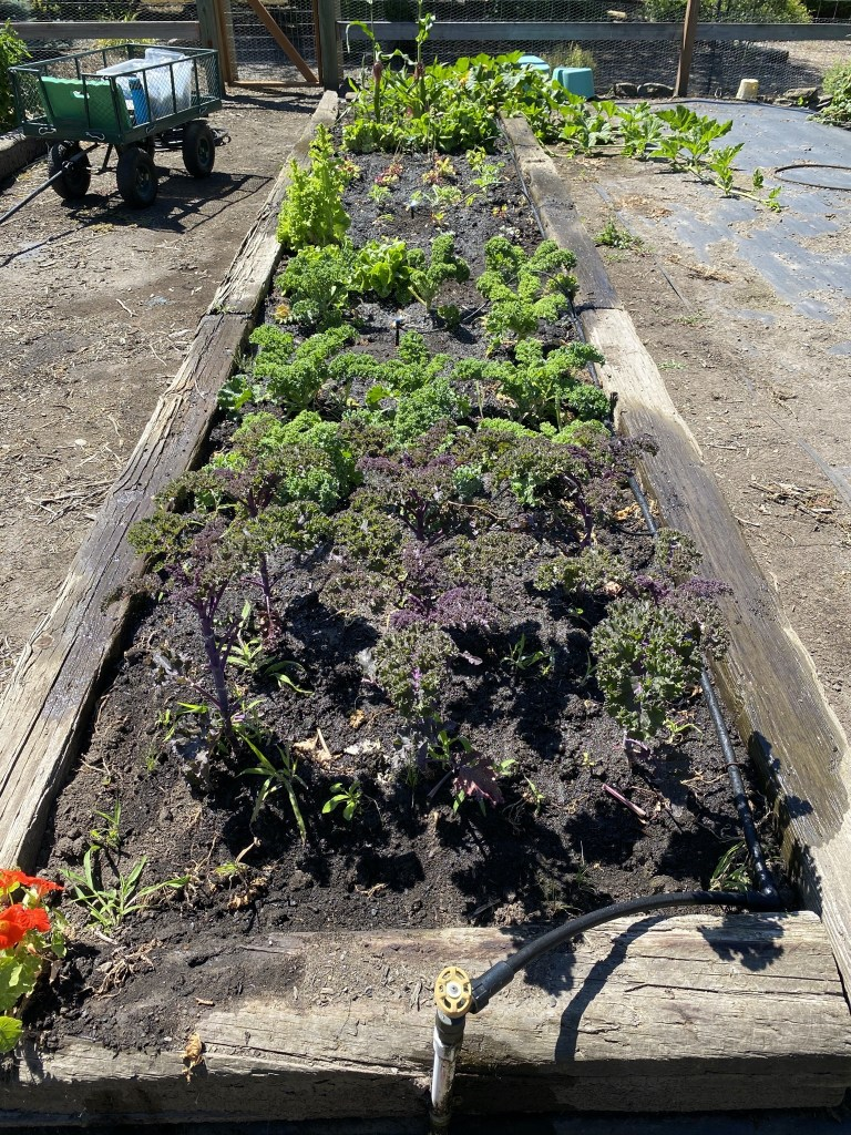 Veggie bed with new irrigation