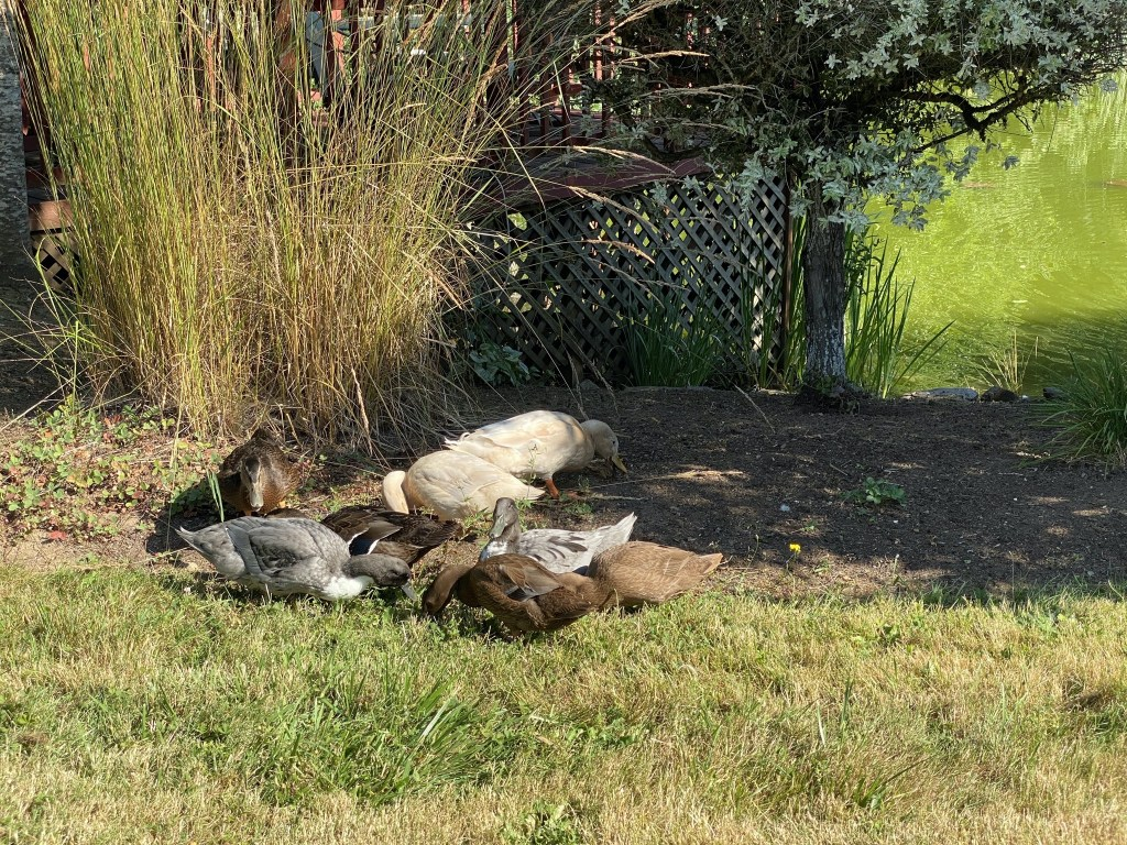 Ducks on the back lawn