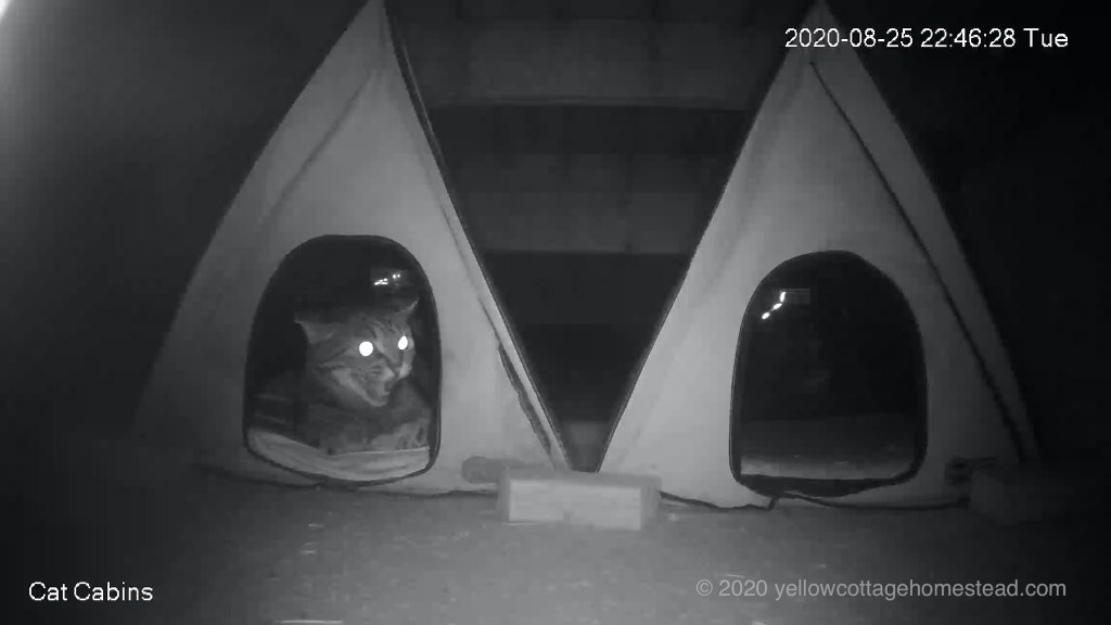 Pommie hissing at raccoons