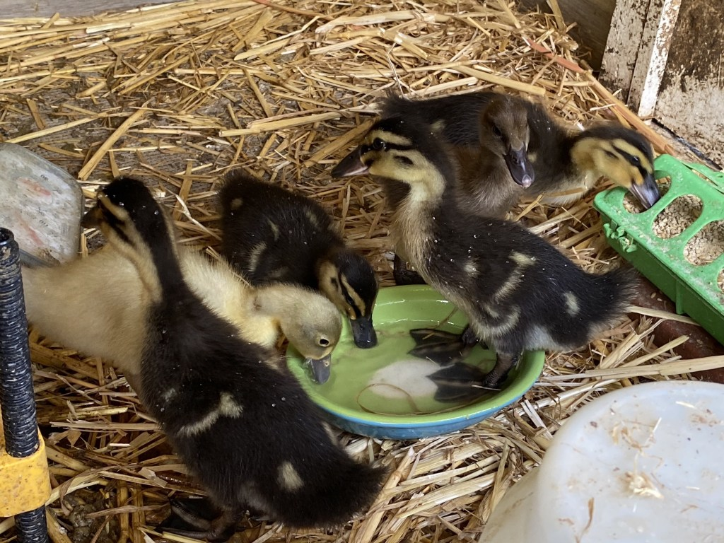 Ducklings with dish