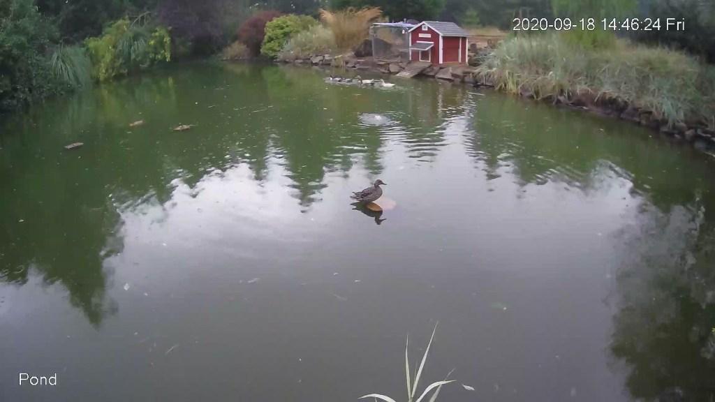 Wild duck visitor