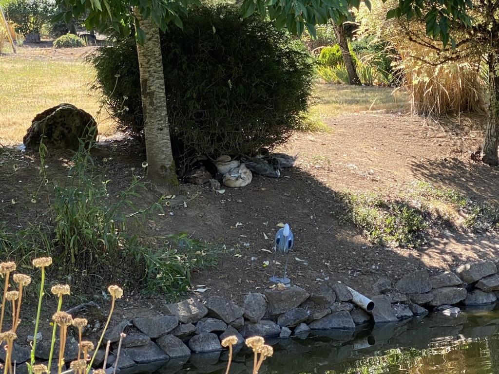 Ducks under shrub