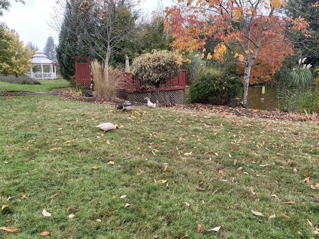 Ducks on lawn