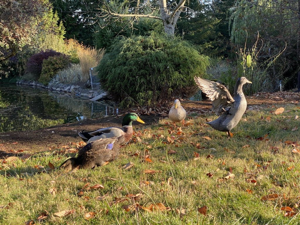 Ducks flapping wings