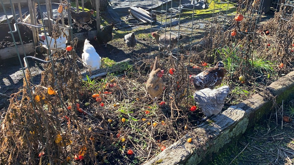 Chickens in veggie garden