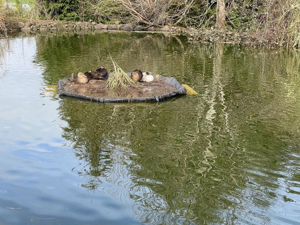 Ducks on pond island