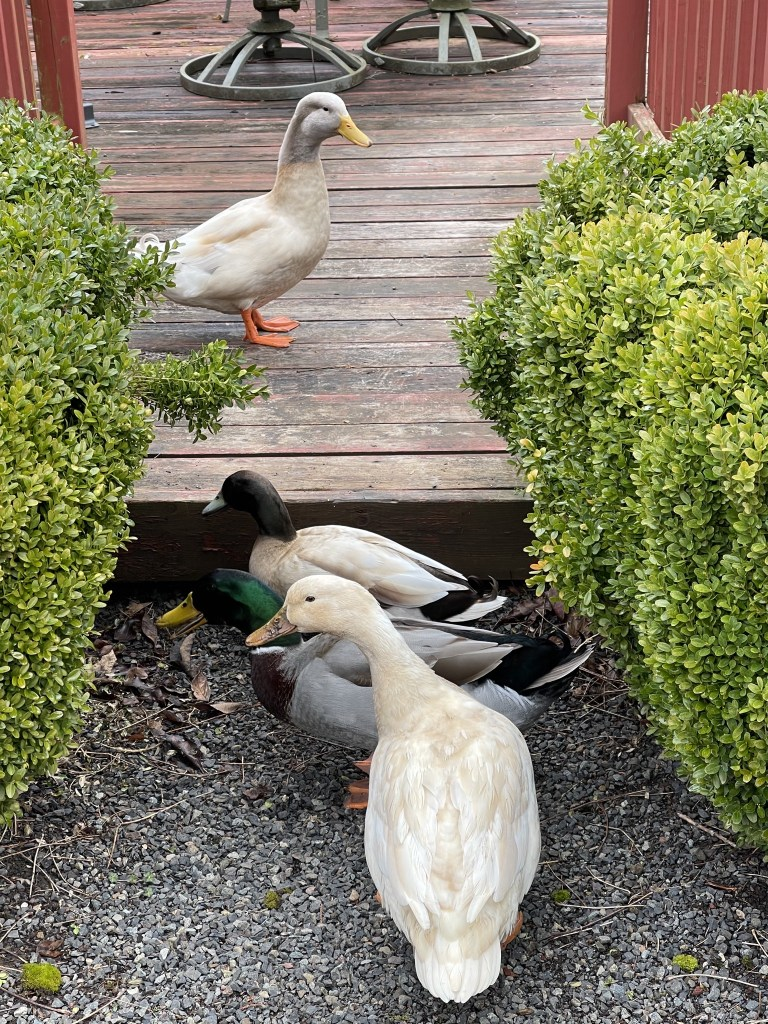 Ducks on the pond deck
