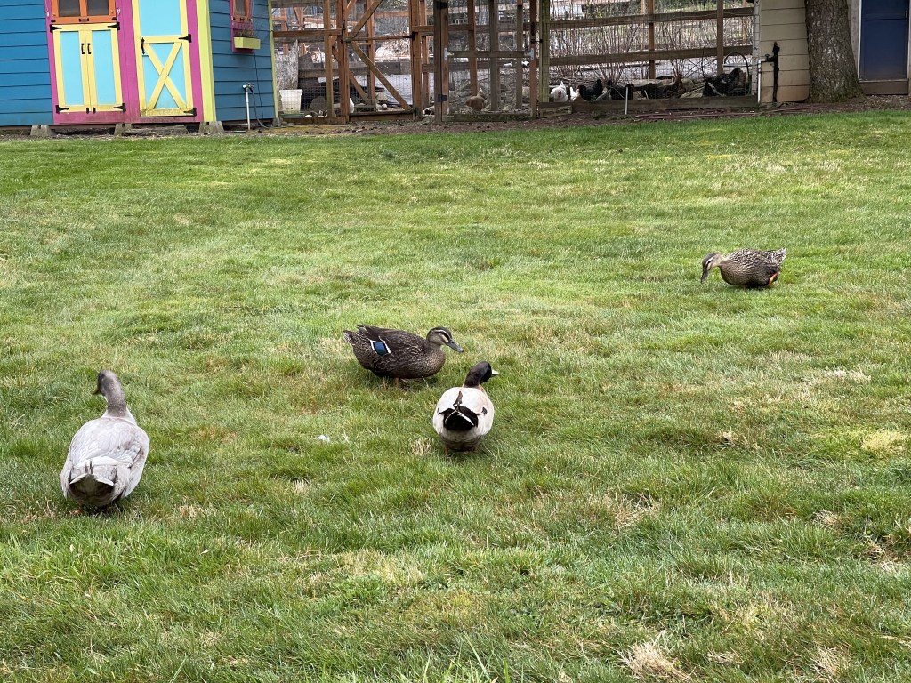 Ducks on the lawn