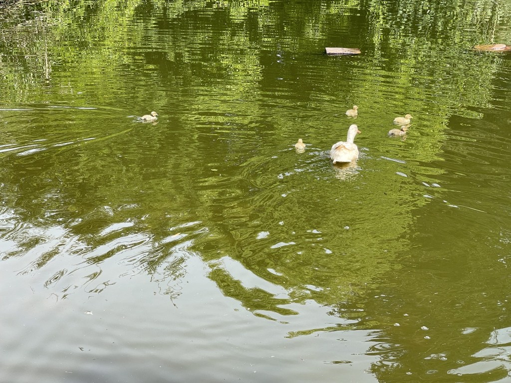 Betty and ducklings in the pond