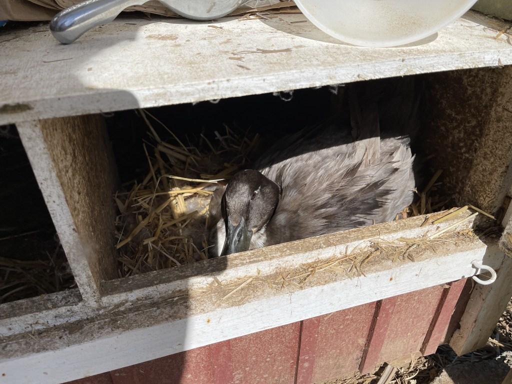 Sonja nesting